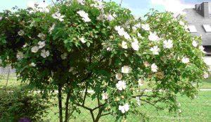 Wildrose Blüten Ende Mai