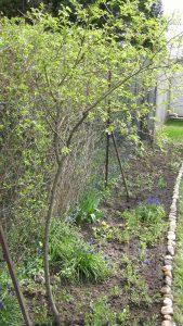 Wildrosenstrauch im Garten