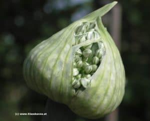 Zwiebel Blüte mit Samen