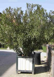 Oleander im Topf - Schlosshof