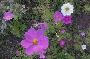 Blüten Cosmea