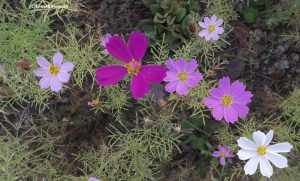Cosmea Violett, Pink, Weiß