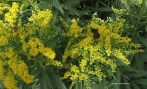 Blüten Goldrute