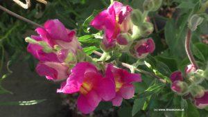 Löwenmaul oder Froschgoscherl Blüten