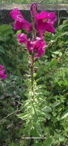 Löwenmaul - Froschgoscherl Pflanze