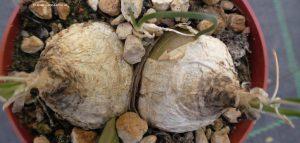 Ornithogalum juncifolium Zwiebeln
