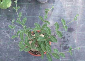 Raphionacme procumbens Blätter