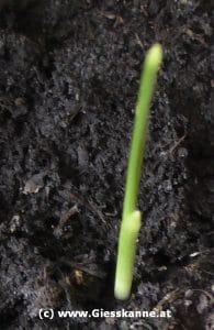 Jungpflanze Phoenix