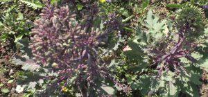 Kohlrabi vor Blüte im Folgejahr