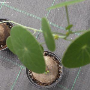 Stephania erecta weiblich link, männlich rechts