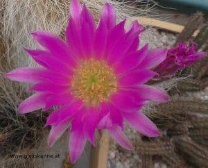 Kaktus Blüte
