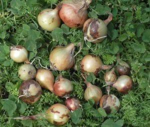 Zwiebeln aus Samen, August Ernte - Steckzwiebeln