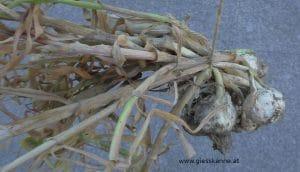 Knoblauch Ernte im Juli