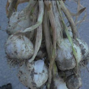 Knoblauch reif nach Ernte